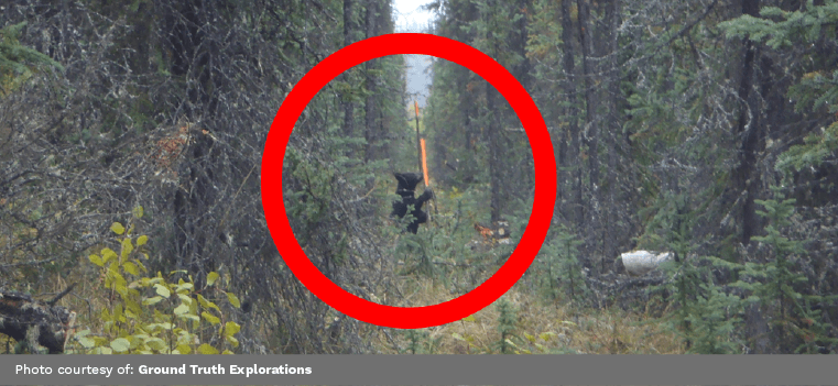 A Black Bear investigating Ground Truth Exploration's ERI Survey
